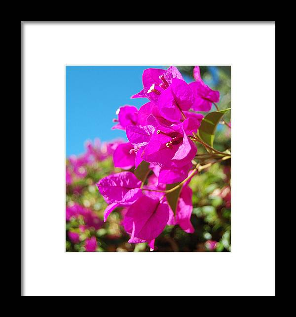 Bougainvillea Framed Print featuring the photograph Magenta Bougainvillea by Jean Booth