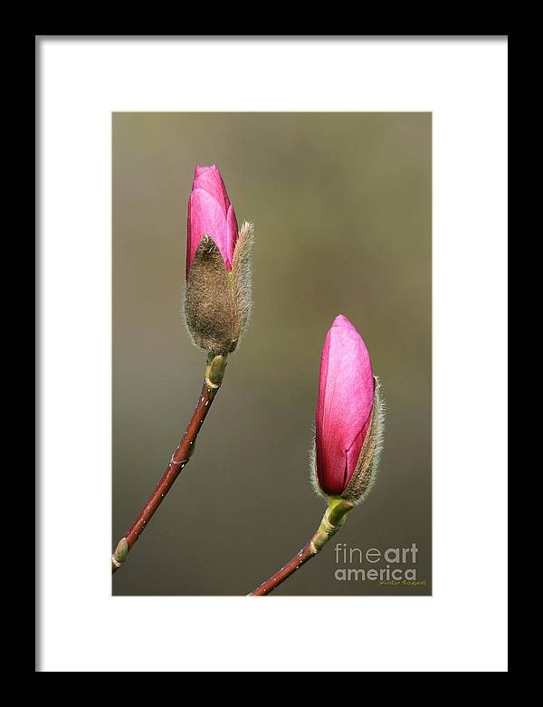 Spring Bloom Magnolia Pink Blossom Framed Print featuring the photograph Magnbolia Bloom by Winston Rockwell