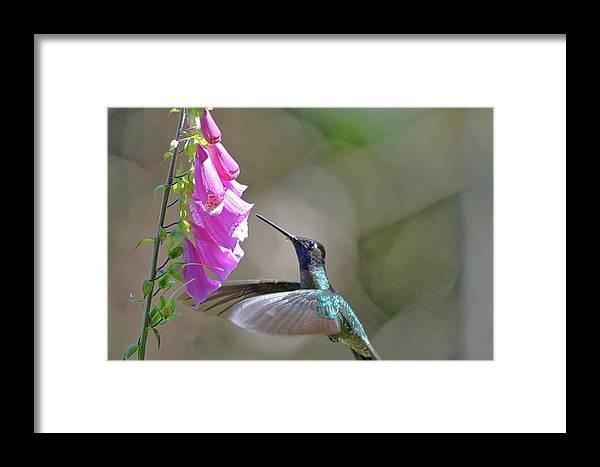 Framed Print featuring the photograph Magnificent Hummingbird A by Burt Finkelstein