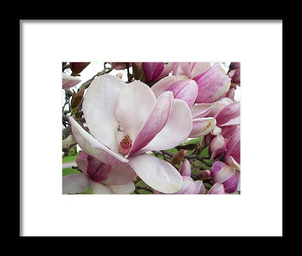 Flowers Framed Print featuring the photograph Magnificent Magnolia by Sandra Poirier
