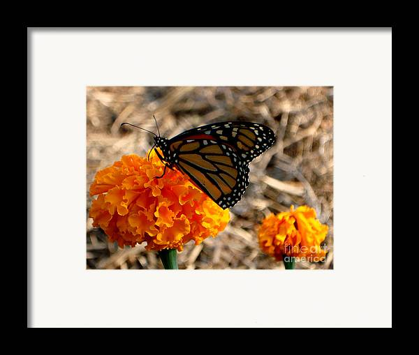 Butterfly Framed Print featuring the photograph Magnificent Monarch by PJ Cloud