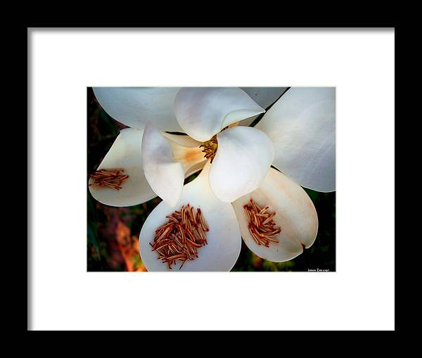 Nature Framed Print featuring the photograph Magnolia Blossom by Johann Todesengel