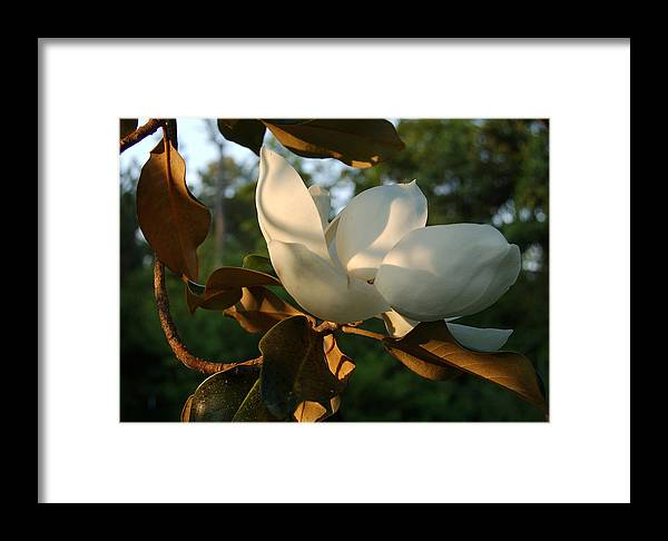 Magnolia Framed Print featuring the photograph Magnolia by Heather S Huston