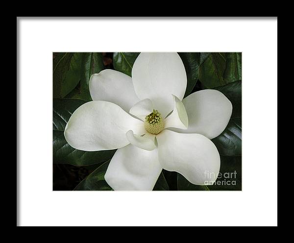 Nature Framed Print featuring the photograph Magnolia In Full Bloom by Lucyna A M Green