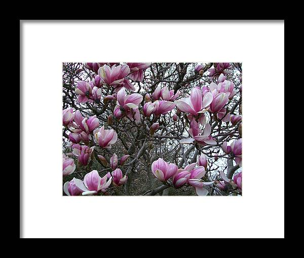 Flowers Framed Print featuring the photograph Magnolia Tree by Sandra Poirier
