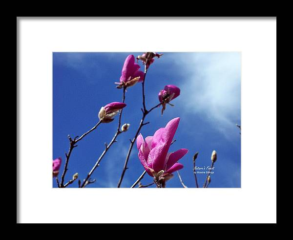 Tulip Trees Framed Print featuring the photograph Magnolia Tulip Tree by Maxine Billings
