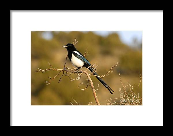 Bird Framed Print featuring the photograph Magpie by Dennis Hammer