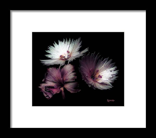 Dianthus Framed Print featuring the painting Maiden Mother Crone by RC DeWinter