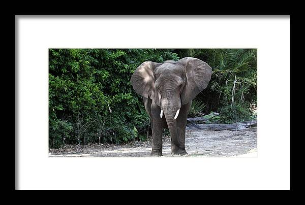 Wildlife Framed Print featuring the photograph Majestic African Elephant by Mary Haber