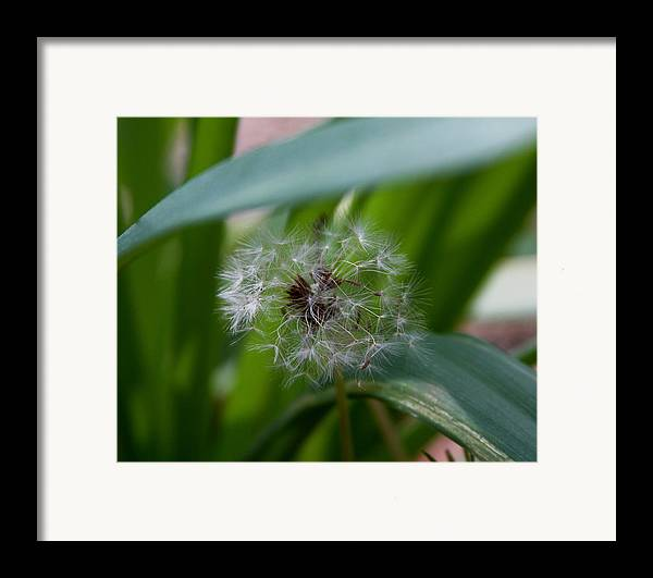 Dandelion Framed Print featuring the photograph Make A Wish by Kenna Westerman