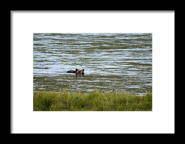 Grizzly Bear Framed Print featuring the photograph Make Way by Chad Davis