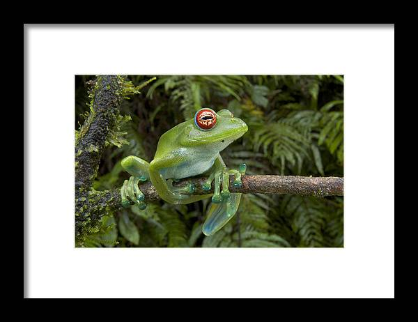 Mp Framed Print featuring the photograph Malagasy Web-footed Frog Boophis Luteus by Piotr Naskrecki
