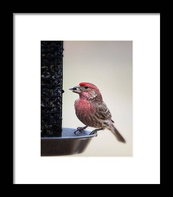 Avian Framed Print featuring the photograph Male House Finch Feeding by Al Mueller