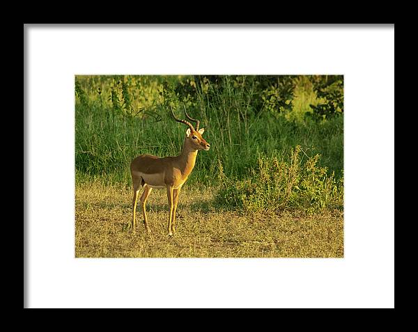 Impala Framed Print featuring the photograph Male Impala At Sunset by Andrew Oliver