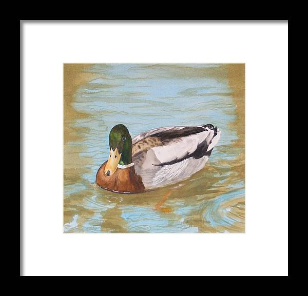 Duck Mallard Water Framed Print featuring the painting Mallard Drake by Diane Ziemski