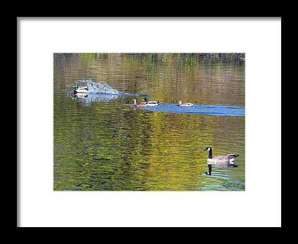 Duck Framed Print featuring the photograph Mallard Splash Landing by Michele Avanti
