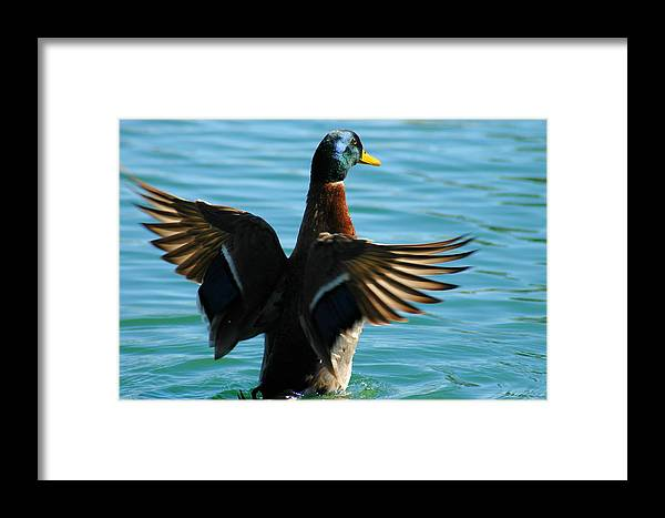 Duck Framed Print featuring the photograph Mallard by Teresa Stallings