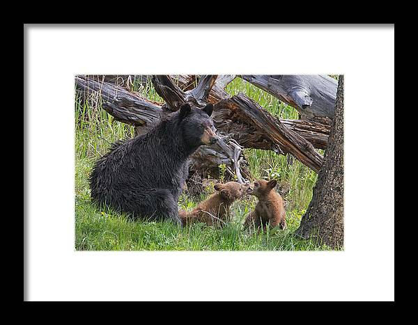 Yellowstone Wildlife Prints Framed Print featuring the photograph Mama Black Bear With Cinnamon Cubs by Martin Belan