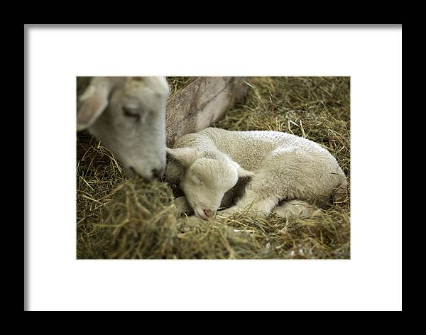 Lamb Framed Print featuring the photograph Mama's Lil Lamb by Linda Mishler