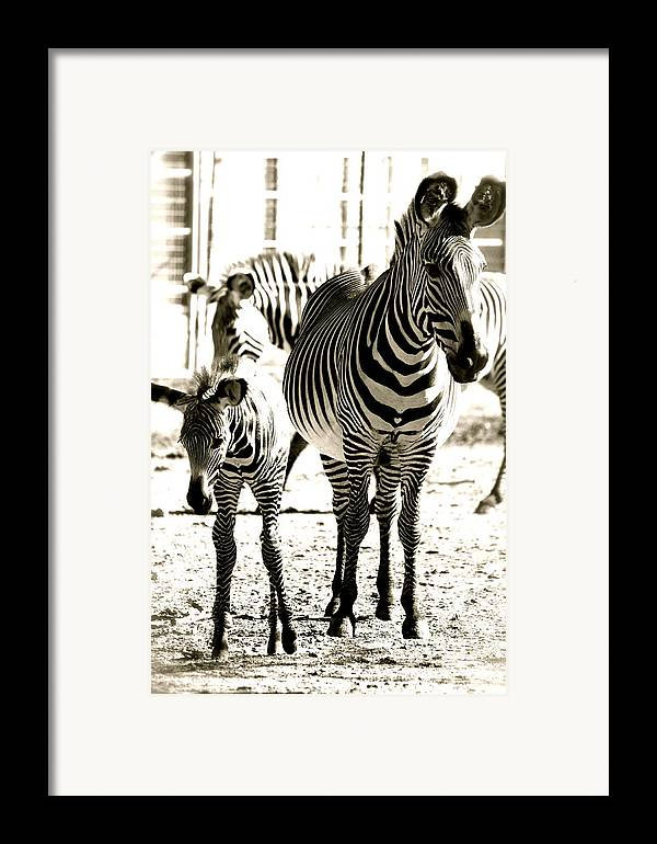 Black And White Of Zebra's Framed Print featuring the photograph Mama's Love by Jennifer Lane