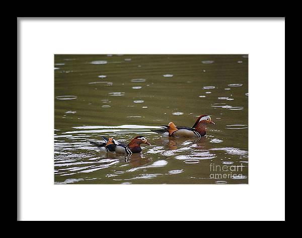 Mandarin Framed Print featuring the photograph Mandarin Ducks 20130507_96 by Tina Hopkins