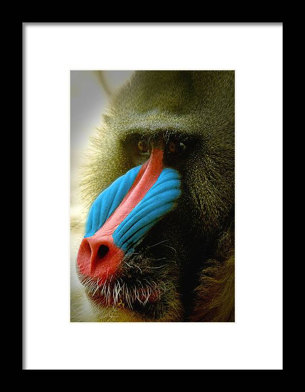 Mandrill Framed Print featuring the photograph Mandrill by Richard Henne