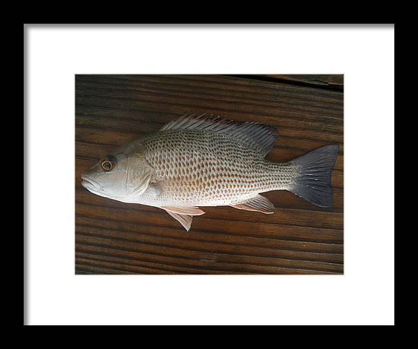 Snapper Fish Framed Print featuring the photograph Mangrove Snapper by Robert Cunningham