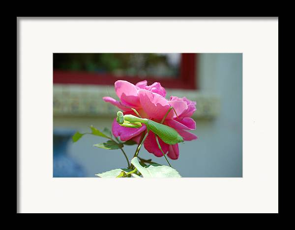 Photography Framed Print featuring the photograph Mantis And Rose by Heather S Huston