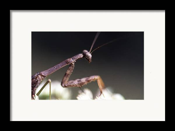 Framed Print featuring the photograph Mantis Pray by Curtis J Neeley Jr