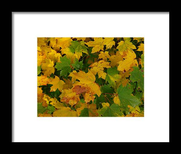 Fall Framed Print featuring the photograph Mapel Leavs. by Itai Minovitz