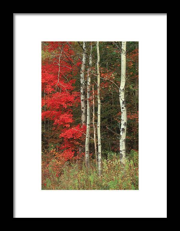 Fall Framed Print featuring the photograph Maple And The Birch by Raju Alagawadi