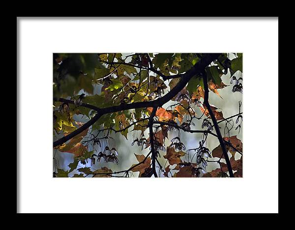 Trees Framed Print featuring the photograph Maple Color by Ross Powell