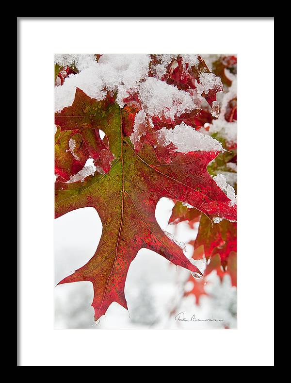 Christmas Framed Print featuring the photograph Maple Leaf And Snow 7467 by Dan Beauvais