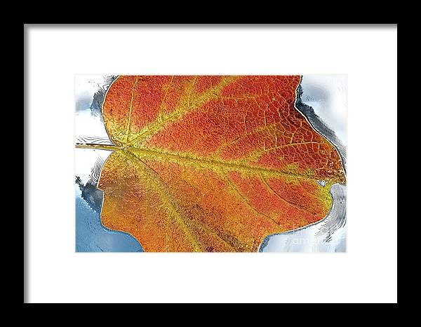 Maple Framed Print featuring the photograph Maple Leaf On Water by Michelle Himes