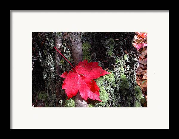 Red Maple Framed Print featuring the photograph Maple Leaf Still Life by Charles Warren