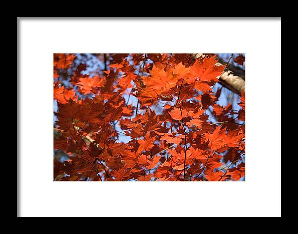 Maple Framed Print featuring the photograph Maple Leaves Aglow by Douglas Barnett