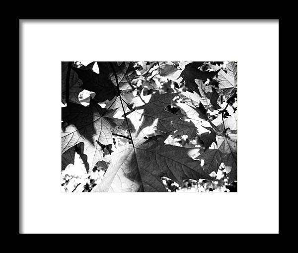 Nature Framed Print featuring the photograph Maple Leaves by Dylan Punke