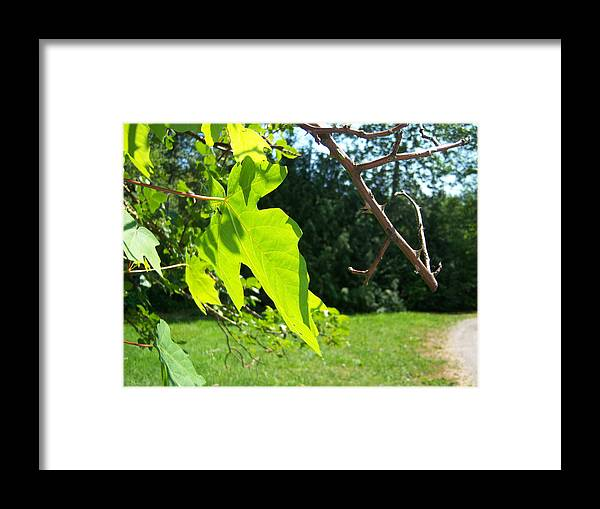 Tree Framed Print featuring the photograph Maple Rose by Ken Day