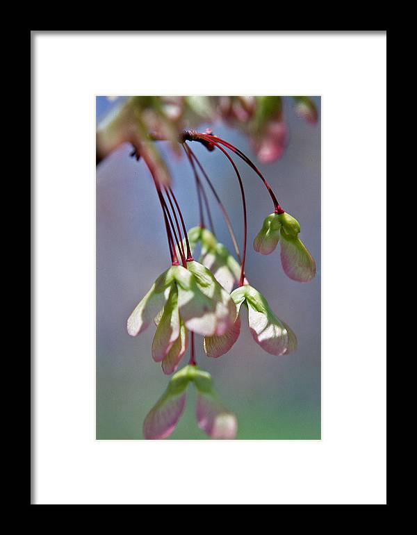 Nashville Framed Print featuring the photograph Maple Seeds by Randy Muir