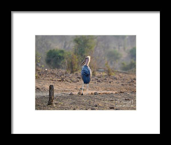 Animalia Framed Print featuring the photograph Marabou Stork Of Botswana Africa by Sherri Hubby