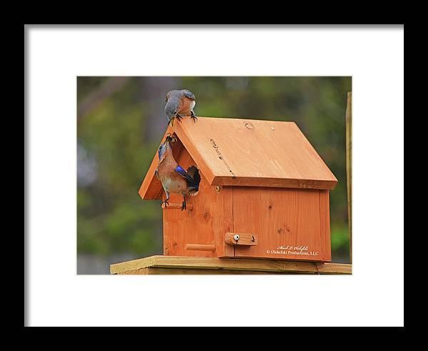 Bluebirds Framed Print featuring the photograph March 2017 Bluebird Lunch 01 by Mark Olshefski