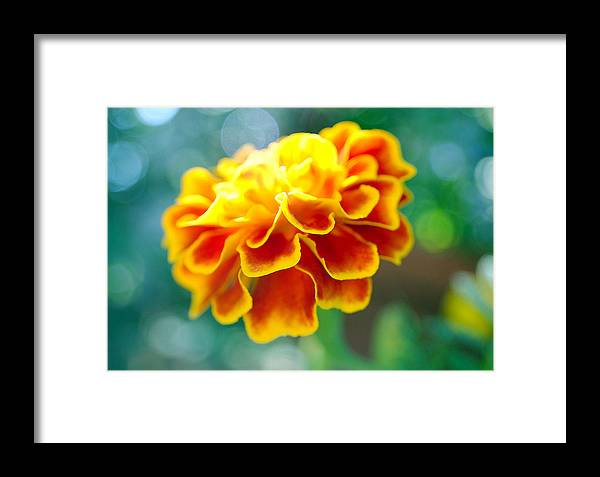 Flowers Framed Print featuring the photograph Marigold by Heather S Huston