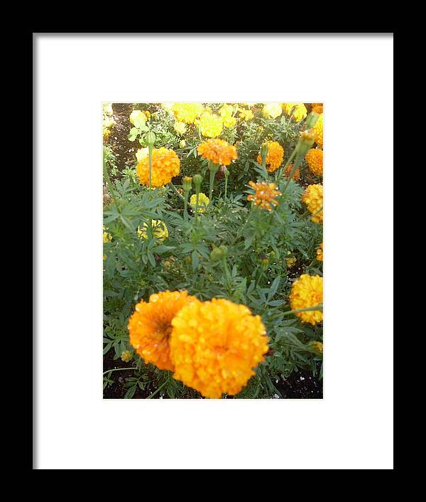 Marigolds Framed Print featuring the photograph Marigold Light by Warren Thompson