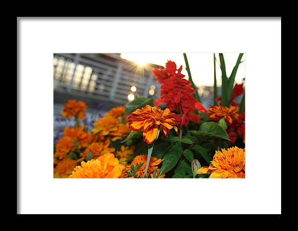 Marigold Framed Print featuring the photograph Marigold Sunshine by Joshua Sunday