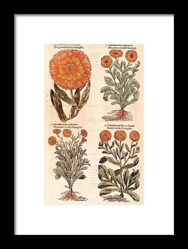 1597 Framed Print featuring the photograph Marigolds by Granger