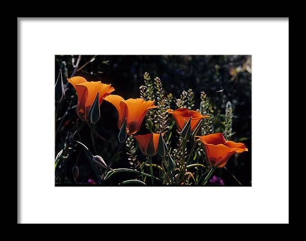 Arizona Desert Photography Framed Print featuring the photograph Mariposa Lily by John Gee