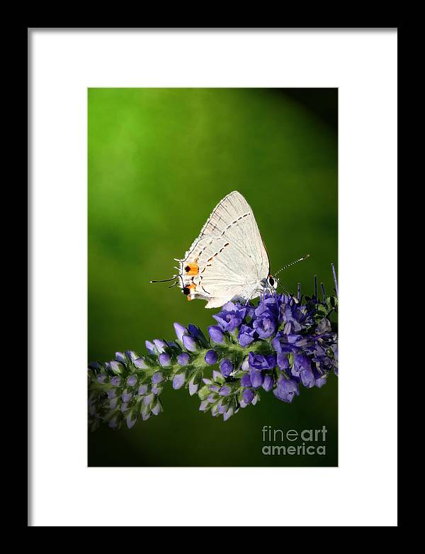 Marius Framed Print featuring the photograph Marius Hairstreak Butterfly by Jeannie Burleson