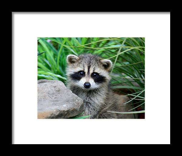 Raccoon Framed Print featuring the photograph Masked Critter by Diane Merkle