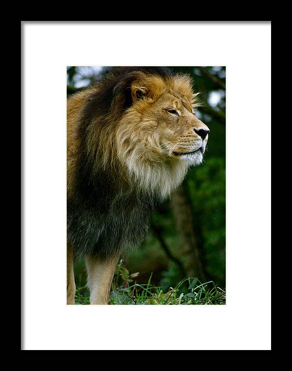 Zoo Framed Print featuring the photograph Master Of The Kingdom by Sonja Anderson