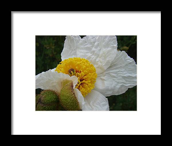 Flowers Framed Print featuring the photograph Matilija Poppy 2 by Liz Vernand